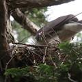 200528-6雛が孵ったと思われる日から15日目・初めて撮れた雛・オオタカ