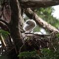 200528-8雛が孵ったと思われる日から15日目・雛の羽・オオタカ