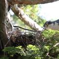 200529-5雛が孵ったと思われる日から16日目・親と雛・オオタカ