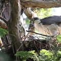 200529-6雛が孵ったと思われる日から16日目・親が持ってきた餌の足に食らいつく雛・オオタカ