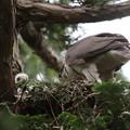 200531-13雛が孵ったと思われる日から17日目・雛と親