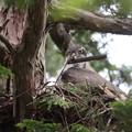 200601-1雛が孵ったと思われる日から19日目・巣に運び込んだ杉の皮?をくわえろるオオタカ