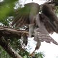 200601-2雛が孵ったと思われる日から19日目・ピンボケですが巣に餌を運び込むオオタカ