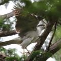 200601-4雛が孵ったと思われる日から19日目・巣から飛び去るオオタカ