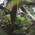 200602-4雛が孵ったと思われる日から20日目・巣に木の葉を敷き詰めるオオタカ