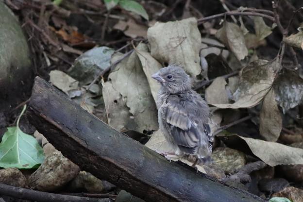 200807-5謎の幼鳥
