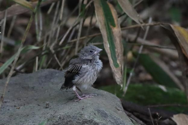 200807-6謎の幼鳥