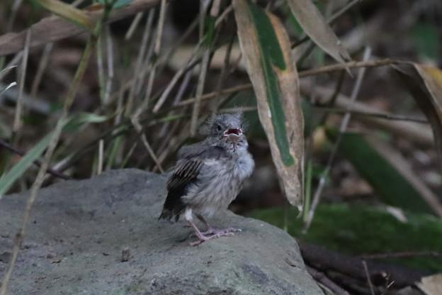 200807-7謎の幼鳥
