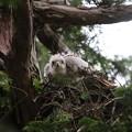 200603-5雛が孵ったと思われる日から21日目・オオタカの雛