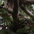 200603-6雛が孵ったと思われる日から21日目・雛に給餌するオオタカの親