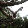 200603-7雛が孵ったと思われる日から21日目・雛の羽
