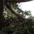 200603-12雛が孵ったと思われる日から21日目・二羽の雛