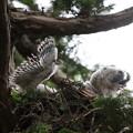 200603-14雛が孵ったと思われる日から21日目・二羽の雛の羽