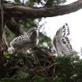 200603-15雛が孵ったと思われる日から21日目・二羽の雛の羽