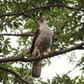 200603-17雛が孵ったと思われる日から21日目・巣に運ぶために折った枝をくわえるオオタカ