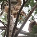 200622-9雛が孵ったと思われる日から40日目・幼鳥2羽