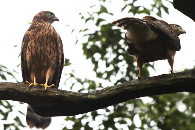 200702-3雛が孵ったと思われる日から50日目・幼鳥2羽