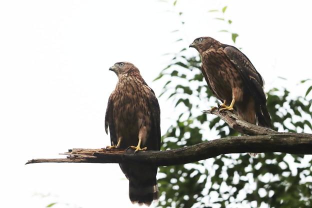 200702-5雛が孵ったと思われる日から50日目・幼鳥2羽