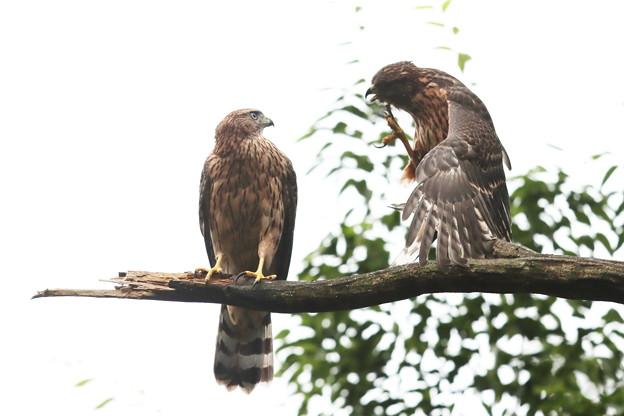 200702-6雛が孵ったと思われる日から50日目・幼鳥2羽