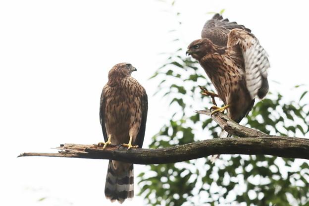 200702-7雛が孵ったと思われる日から50日目・幼鳥2羽