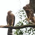 200702-8雛が孵ったと思われる日から50日目・幼鳥2羽