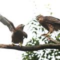 200702-9雛が孵ったと思われる日から50日目・幼鳥2羽(1/4)