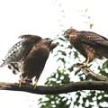 200702-10雛が孵ったと思われる日から50日目・幼鳥2羽(2/4)