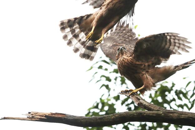 200702-12雛が孵ったと思われる日から50日目・幼鳥2羽(4/4)