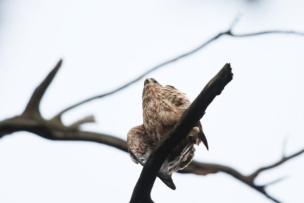 200702-13雛が孵ったと思われる日から50日目・幼鳥
