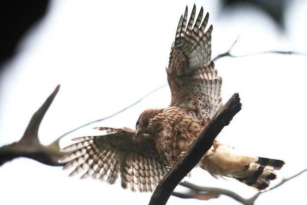 200702-14雛が孵ったと思われる日から50日目・幼鳥