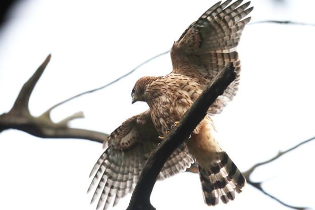 200702-15雛が孵ったと思われる日から50目・幼鳥