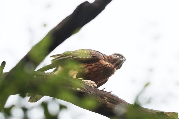 200702-16雛が孵ったと思われる日から50目・幼鳥