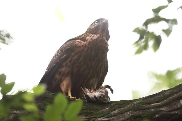 200702-17雛が孵ったと思われる日から50目・幼鳥