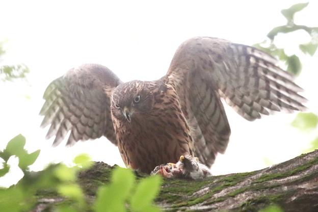 200702-18雛が孵ったと思われる日から50目・幼鳥の食事