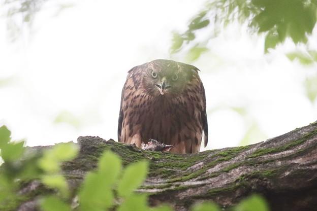 200702-19雛が孵ったと思われる日から50目・幼鳥の食事