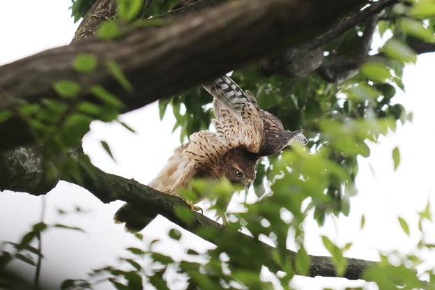 200702-20雛が孵ったと思われる日から50目・エンゼルポーズ・幼鳥