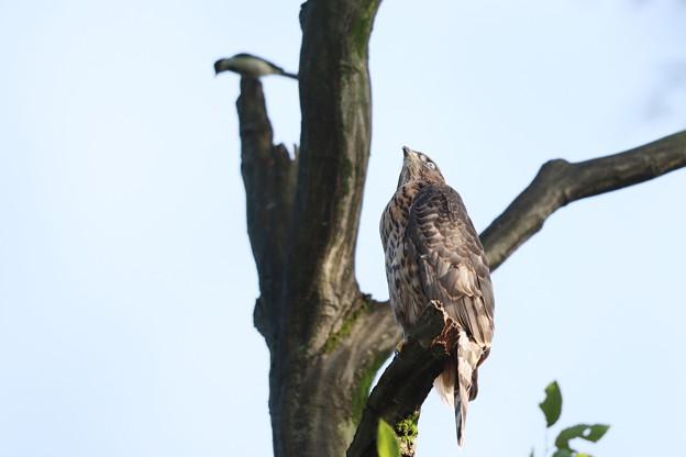 200702-21雛が孵ったと思われる日から50目・勇気あるシジュウカラ・幼鳥
