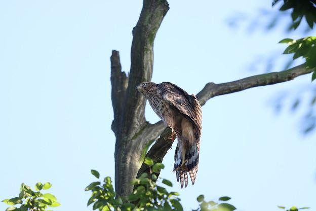 200702-23雛が孵ったと思われる日から50目・幼鳥