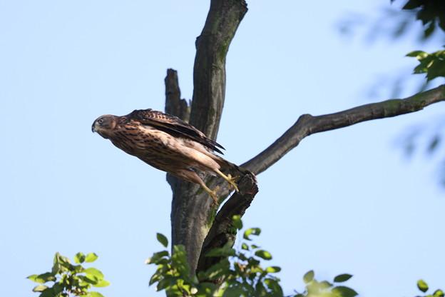 200702-25雛が孵ったと思われる日から50目・幼鳥