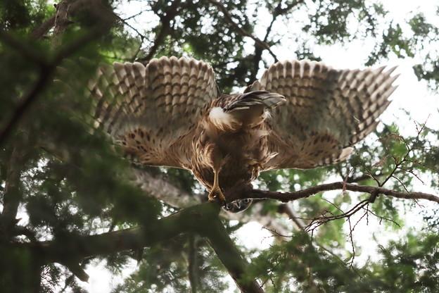 200703-11雛が孵ったと思われる日から51日目・変なところを撮らないで、おじさん・幼鳥