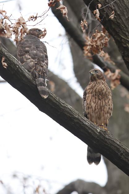 200703-14雛が孵ったと思われる日から51日目・幼鳥2羽