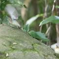 200922-6キビタキ♀t(2/2)