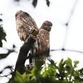 Photos: 200707-7雛が孵ったと思われる日から55日目・せっかく二羽並んだのに