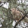 200707-8雛が孵ったと思われる日から55日目・松葉の奥に・幼鳥