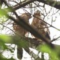 200707-9雛が孵ったと思われる日から55日目・もう一羽の顔が見えない・幼鳥