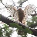 200709-4雛が孵ったと思われる日から57日目・餌を持った幼鳥の舞い(1/4)