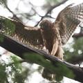 200709-5雛が孵ったと思われる日から57日目・餌を持った幼鳥の舞い(2/4)