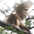 200709-6雛が孵ったと思われる日から57日目・餌を持った幼鳥の舞い(3/4)