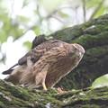 200711-4雛が孵ったと思われる日から59日目・食事中の幼鳥