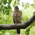 200711-5雛が孵ったと思われる日から59日目・幼鳥